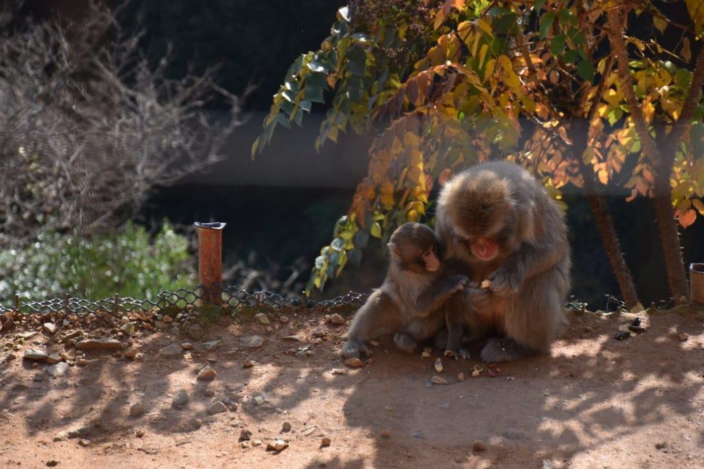 Iwatayama Monkey Park Best Of Japan: The Ultimate Two Week Itinerary
