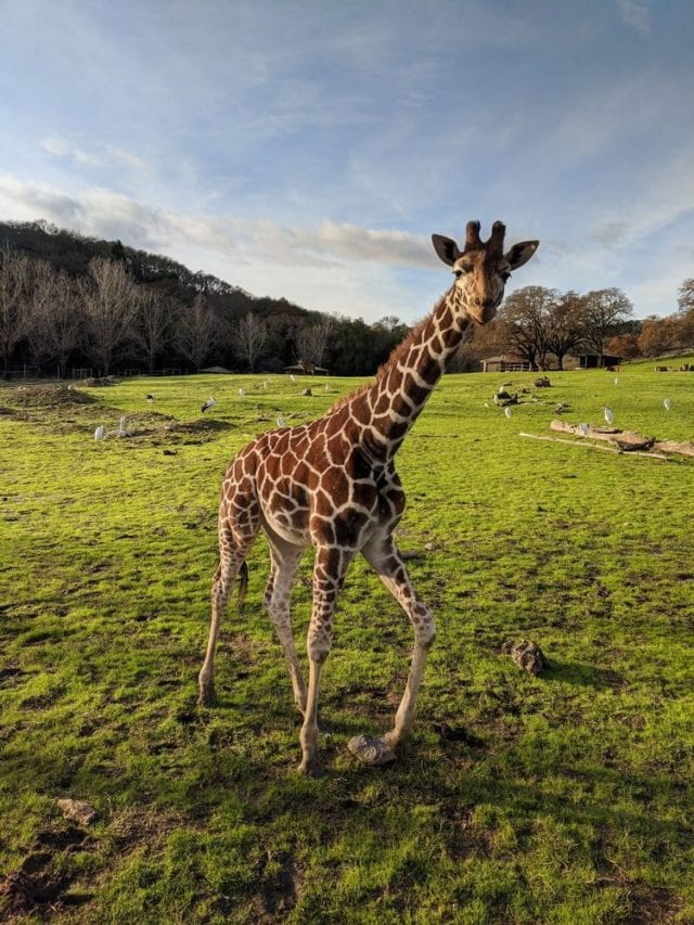 Safari West Santa Rosa CA - Best Things To Do In Napa Valley - TravelsWithElle