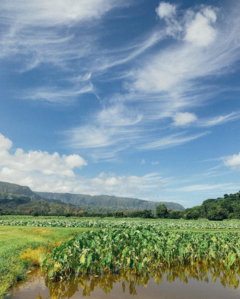 Hanalei Taro - Best Things To Do In Hanalei and Princeville, Kauai - TravelsWithElle