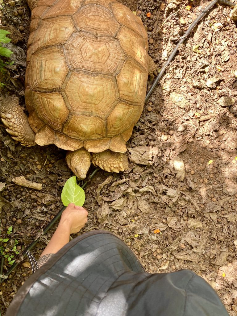 Makauwahi Cave Reserve Tortoises - The Perfect 7-Day Kauai Itinerary - TravelsWithElle