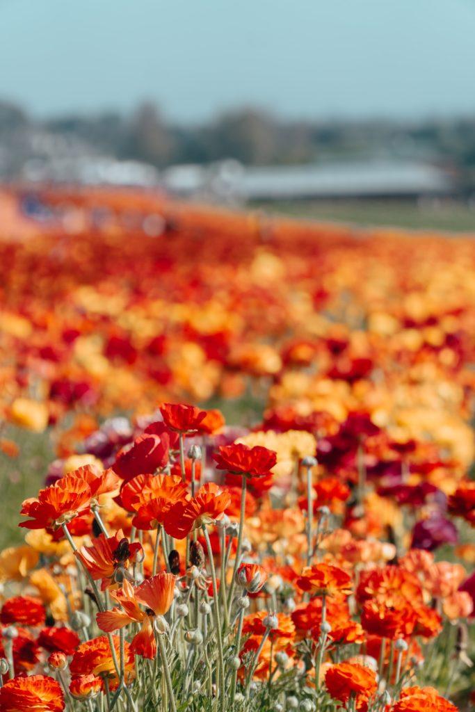 Carlsbad Flower Fields CA