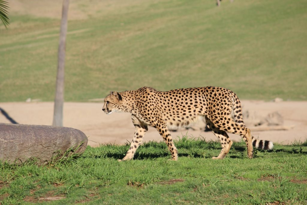 Cheetah San Diego Zoo Safari Park - Safaris In The USA - TravelsWithElle