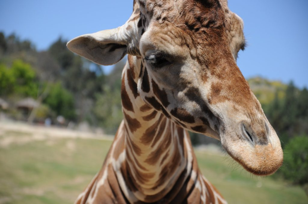 Giraffe Safaris In The USA - TravelsWithElle