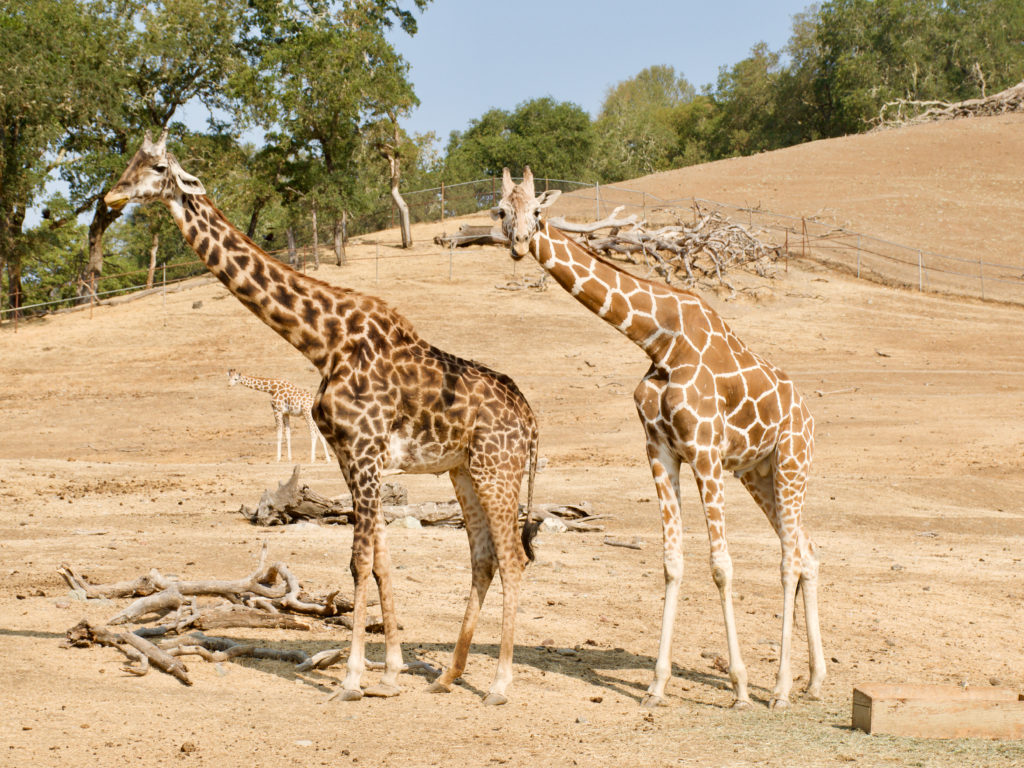 Giraffes - Safari West Review - Is Safari West Worth The Money - TravelsWithElle